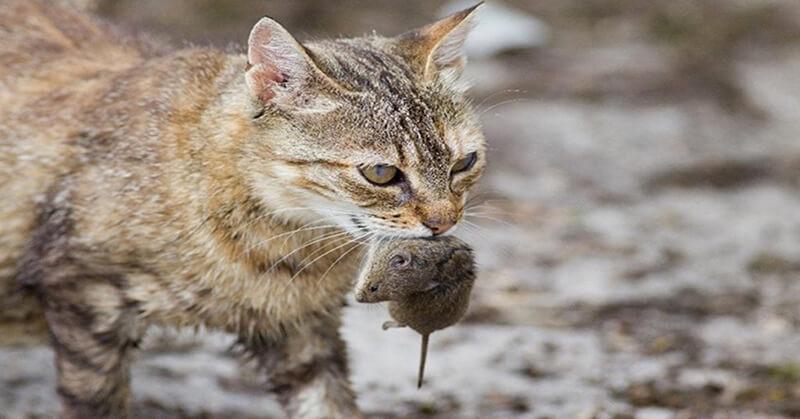 Nuôi mèo – thiên địch truyền kiếp của chuột