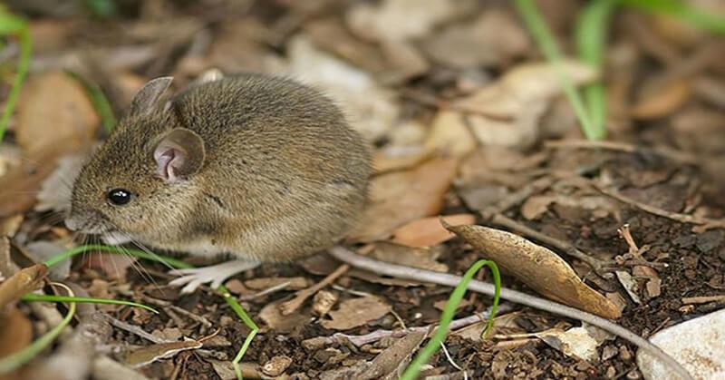 Cách diệt chuột hiệu quả cao và an toàn