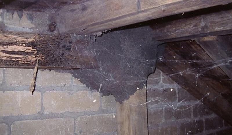 Diệt mối trong tường nhà những lưu ý để diệt tận gốc