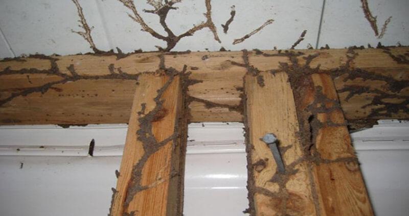 Các loại mối gây hại cho công trình