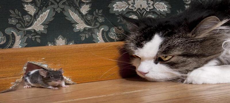 Dùng mèo diệt chuột